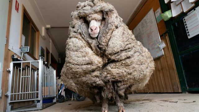 Escaped sheep rescued from 35kg fleece