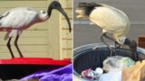People are demanding that the 2032 Olympic mascot is Brisbane's bin-chicken, the Ibis!