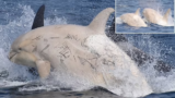 Two rare white orcas spotted off the coast of Japan