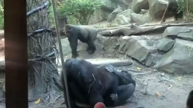 Gorillas engaged in explicit fellatio in front of shocked zoo visitors