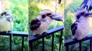 "Bloody kookaburra brings his ""kills"" to Aussie couple on veranda to admire"