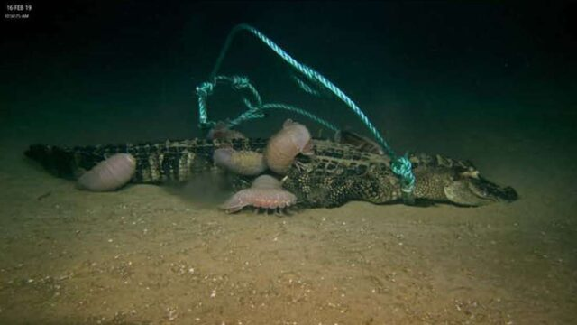 Scientists dropped dead alligators to ocean floor and discovered a new bone-eating creature