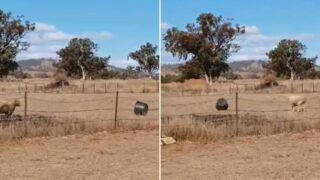 Watch this 'd*ckhead' ram go to war with a bucket!